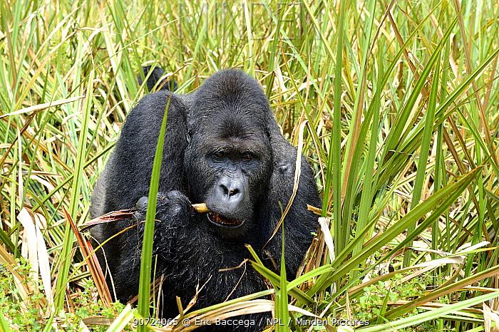 Eastern lowland gorilla (Gorilla beringei graueri), silverback dominant male, feeding in the marshes, Kahuzi Biega NP, Democratic Republic of Congo.