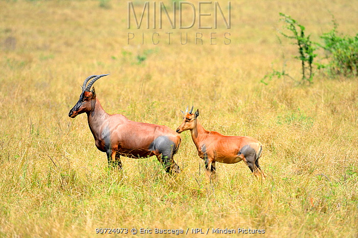 Topi (Damaliscus lunatus jimela), female and young in the savanna, Akagera National Park, Rwanda.