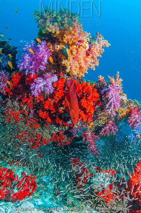 Coral reef with soft corals (Dendronephthya sp.), encrusting sponges and Pygmy sweepers (Parapriacanthus ransonetti) Similan Islands, Andaman Sea, Thailand.