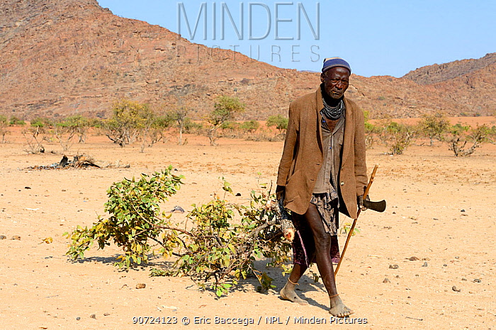 Himba community chief, collecting branches from a mopane tree to feed the goats at the dry season, Marienfluss Valley, Kaokoland Desert, Namibia. October 2015