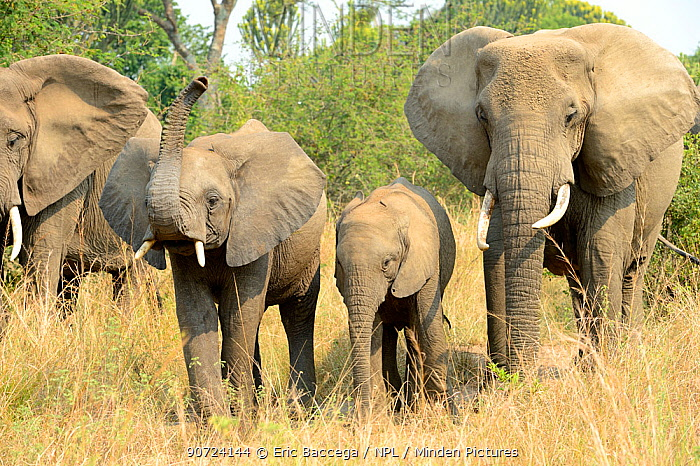 African elephant (Loxodonta africana), group with females and young foraging in the savanna, Queen Elizabeth National Park, Uganda.
