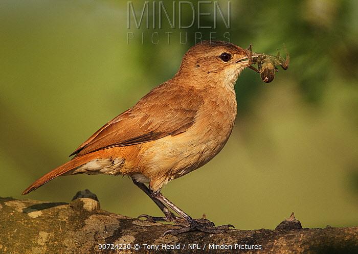 Rufous Hornero / Ovenbird (Furnarius rufus) with prey, Pantanal, Brazil