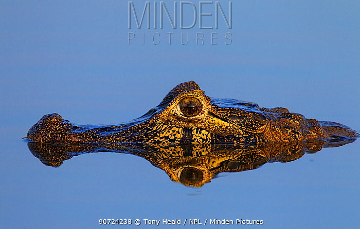 Yacare caiman (Caiman yacare) lying in water with perfect reflection, Pantanal, Brazil