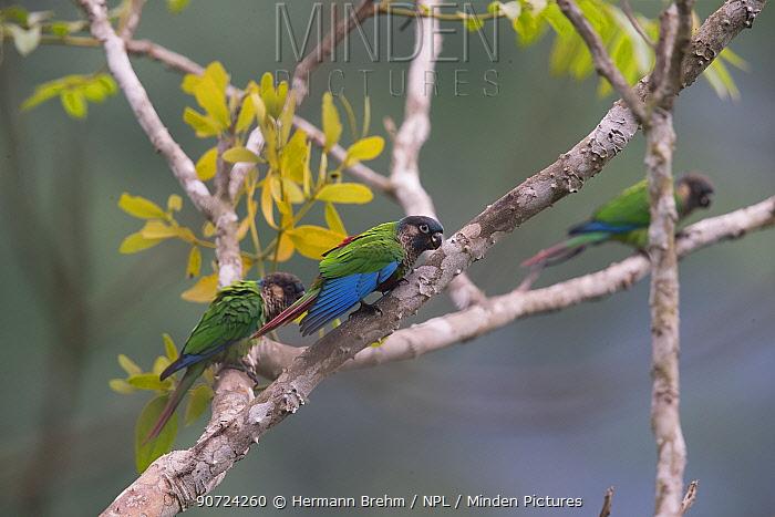 Santarem parakeet (Pyrrhura amazonum) stretching wing, Carajas National Park, Amazonas, Brazil.