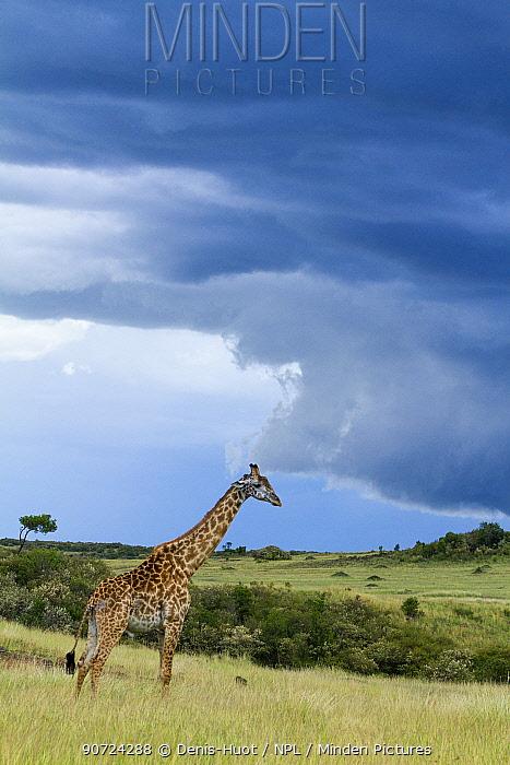 Masai giraffe (Giraffa camelopardalis tippelskirchi) with approaching storm, Maasai Mara Game Reserve, Kenya