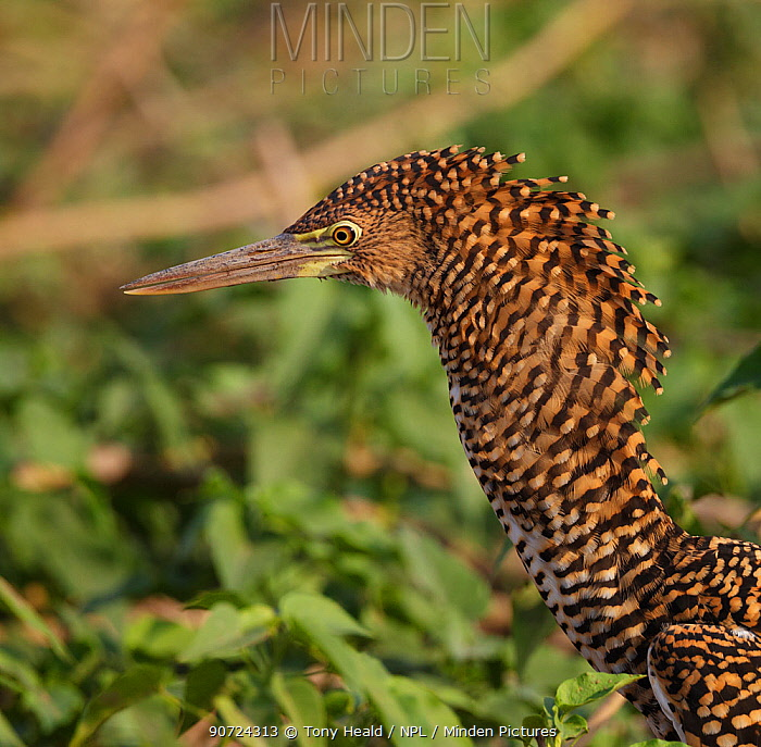 Rufescent tiger heron (Tigrisoma lineatum) profile portrait of immature bird with neck feathers raised, Pantanal, Brazil