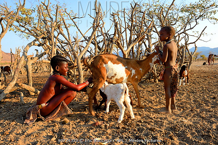 Himba girl with traditional double plait hairstyle milking a goat. Marienfluss Valley, Kaokoland Desert, Namibia. October 2015