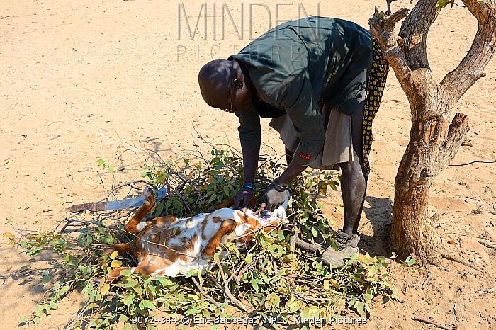 Himba man skinning a dead goat, Marienfluss Valley, Kaokoland Desert, Namibia. October 2015