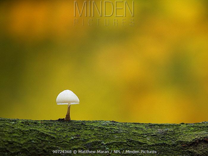 Porcelain fungus (Oudemansiella mucida) Hampstead Heath, London, England, UK, November.