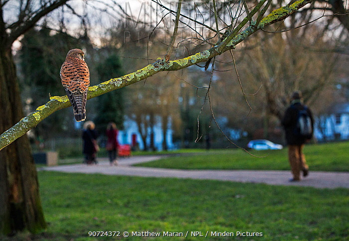 Kestrel (Falco tinnunculus) female perched with people walking in the background. Hampstead Heath, London, England, UK, February.