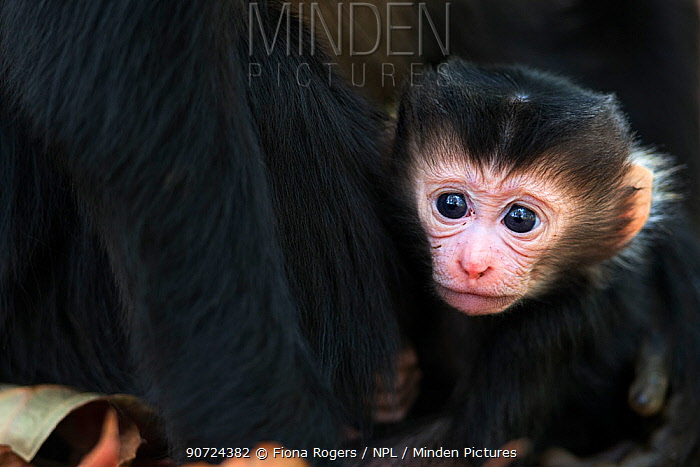 Lion-tailed macaque (Macaca silenus) infant age less than 1 month portrait . Anamalai Tiger Reserve, Western Ghats, Tamil Nadu, India. March.