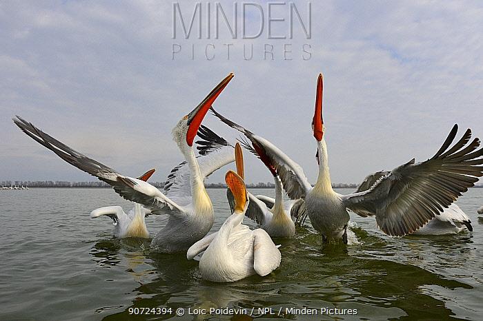 Dalmatian pelicans (Pelecanus crispus) squabbling over fish, Lake Kerkini, Greece, February.