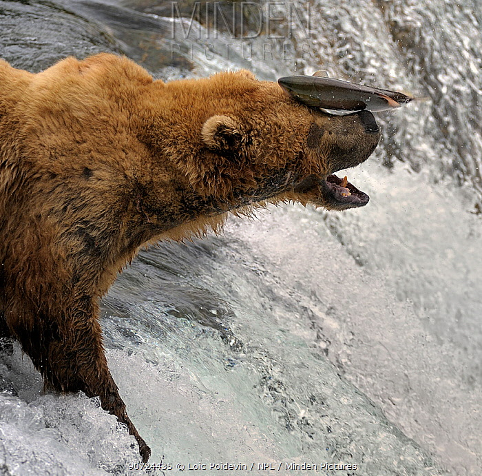 Grizzly bear (Ursus arctos horribilis) trying to catch Salmon leaping up the Brooks Falls, Alaska, USA, August. Small reproduction only.