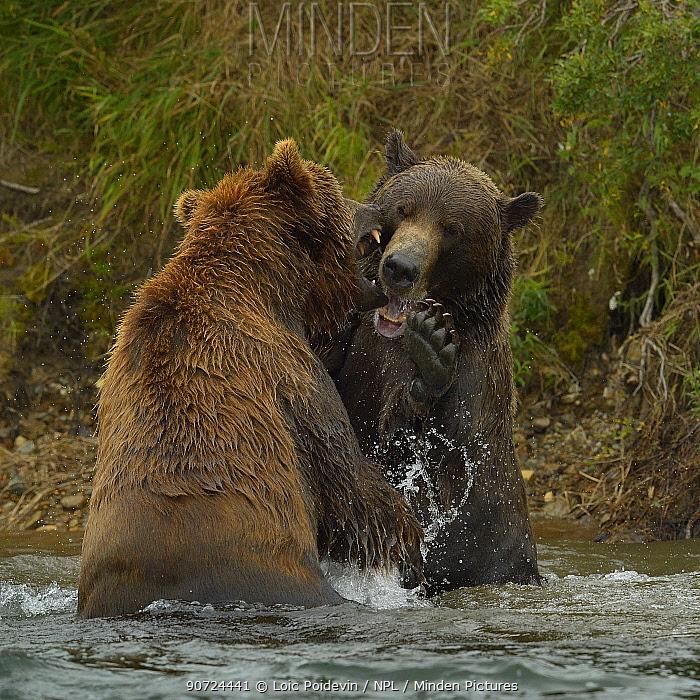 Grizzly bears (Ursus arctos horribilis) fighting in river, Katmai National Park, Alaska, USA, August