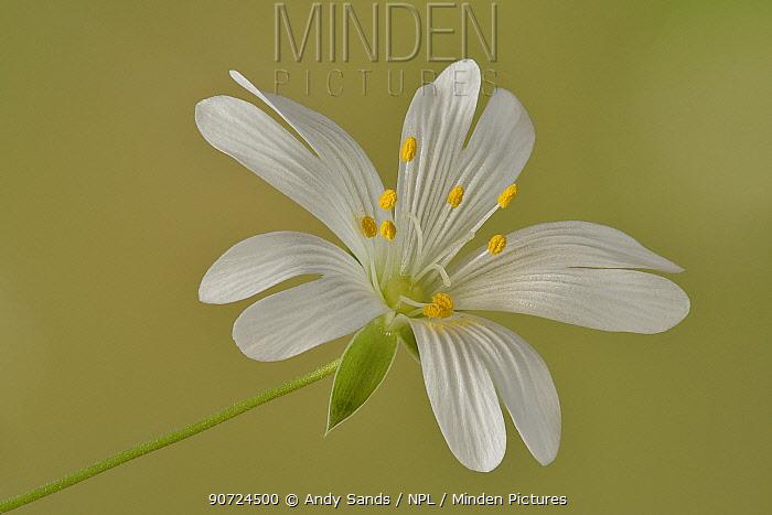 Close up of Greater stitchwort (Stellaria holostea) flower, Hertfordshire, England, UK, April.  Focus stacked image.