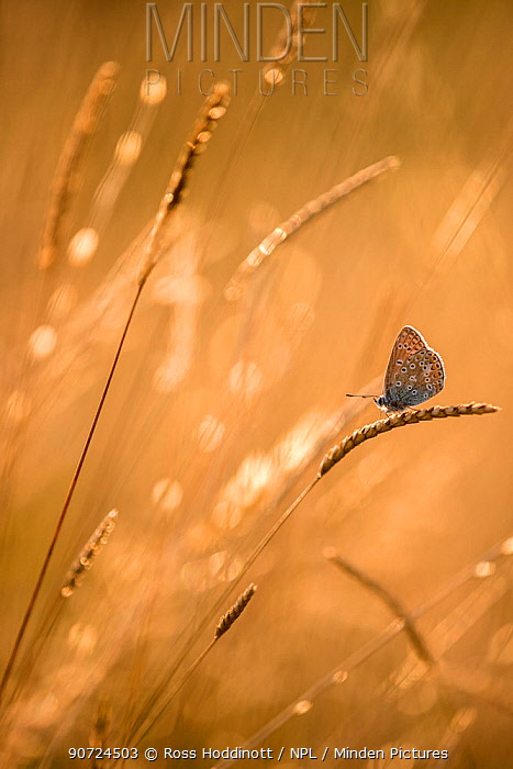 Common blue butterfly (Polyommatus icarus) resting on grasses at sunset, Vealand Farm, Devon, UK. July.
