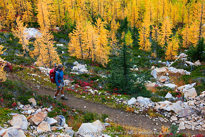Hiker descending Cutthroat Pass, North Cascades Scenic Highway Area of Okanogan National Forest, Washington, USA.October 2015. Model Released.