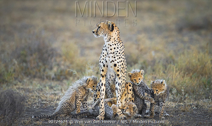 Cheetah (Acinonyx jubatus) female with her 4 very young cubs playing at her feet while she scans the plains for prey, Lake Ndutu Tanzania