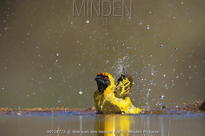 Southern Masked weaver (Ploceus velatus) bathing, taken from eye level hide, Zimanga Private Game Reserve, South Africa