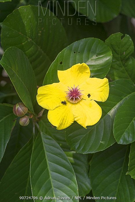 Simpoh or Simpeh (Dillenia excelsa) in flower, Danum Valley, Sabah, Borneo.