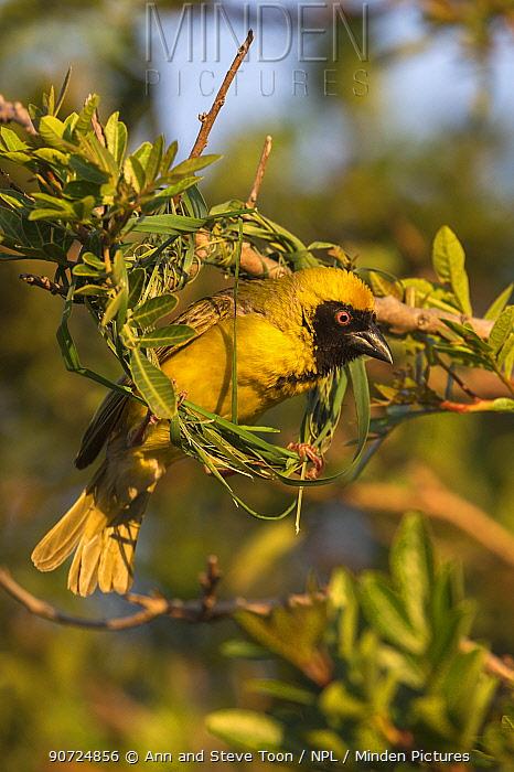 Southern masked weaver (Ploceus velatus) building nest, Western Cape, South Africa,