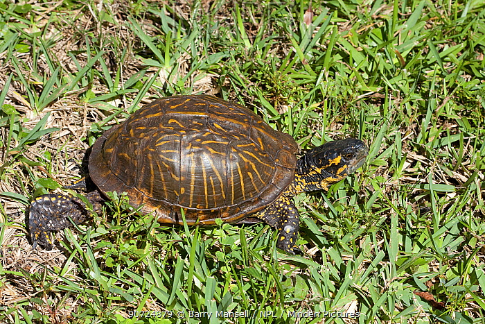 Florida box turtle (Terrapene carolina bauri) North Florida, USA, October.