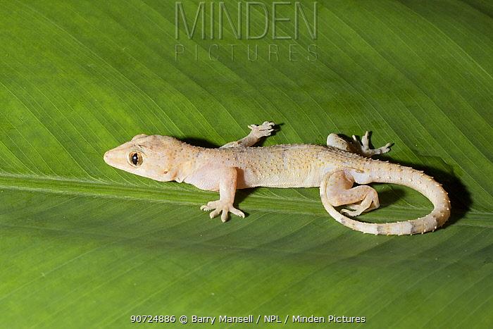 House gecko (Hemidactylus mabouia) introduced species, Florida, USA. April.
