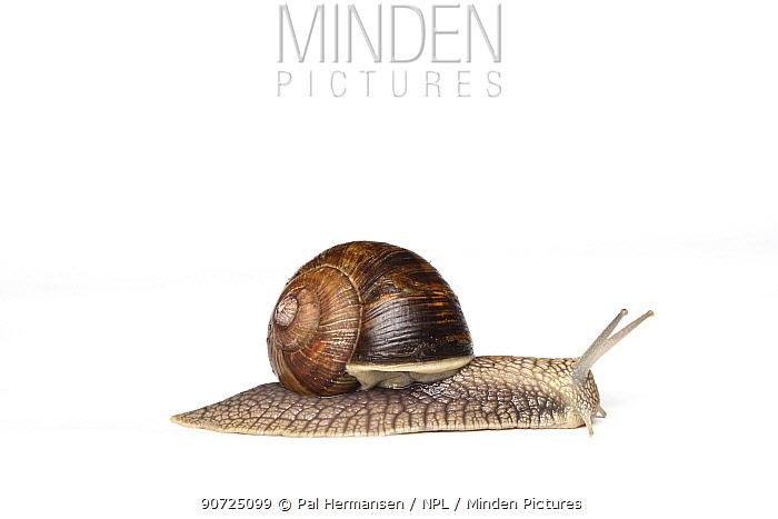 Edible / Roman snail (Helix pomatia) on white background.