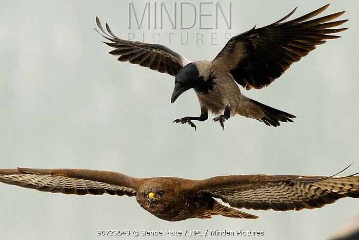 Hooded crow (Corvus cornix) mobbing Buzzard (Buteo buteo) Lake Csaj, Kiskunsagi National Park, Pusztaszer, Hungary. January.