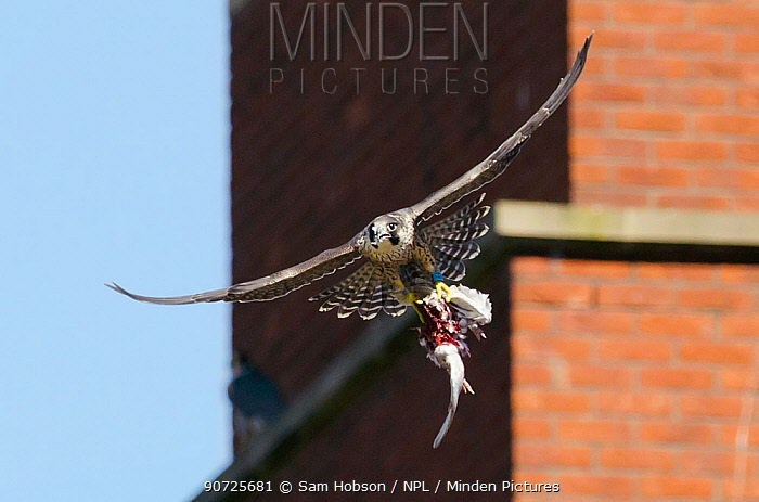Peregrine falcon (Falco peregrinus), juvenile in flight with remains of feral pigeon. Bristol, UK. July.