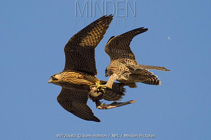Peregrine falcons (Falco peregrinus), juvenile female and male in flight, fighting over prey. Bristol, UK. June.