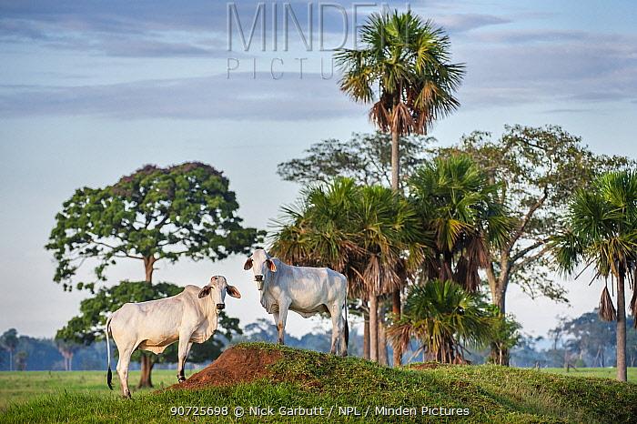 Zebu Cattle (Bos primigenius indicus), Los Llanos, Colombia, South America.