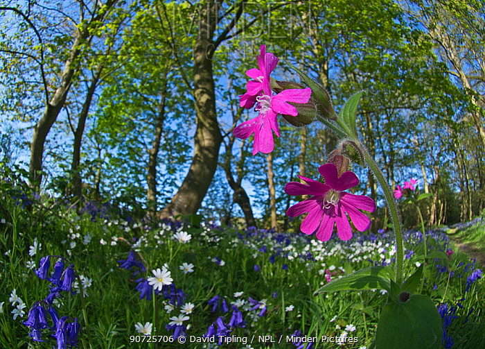 Red campion (Silene dioica) flowering in woodland amongst Bluebells and Greater stitchwort. Thursford Wood, North Norfolk, UK, May.