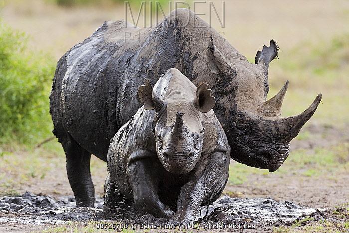 Black rhinoceros (Diceros bicornis) female and young in the mud, Masai-Mara Game Reserve, Kenya. February.