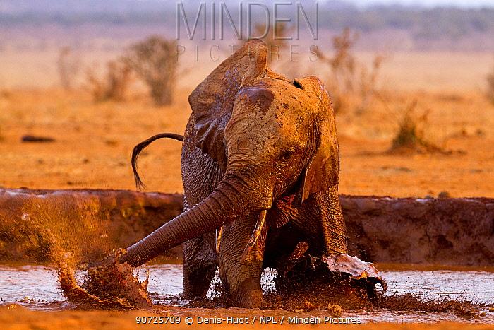 African elephant (Loxodonta africana) having a mud bath at a water hole, Tsavo East National Park, Kenya. August.