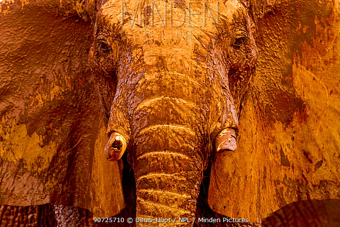 African elephant (Loxodonta africana) male covered with mud at a water hole, Tsavo East National Park, Kenya. August.