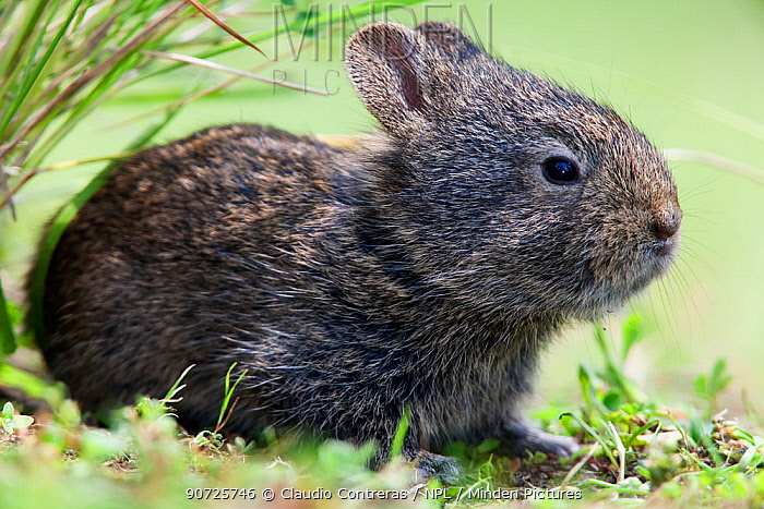 Minden Pictures stock photos - Volcano rabbit (Romerolagus ...