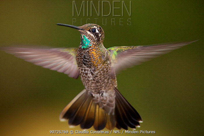 Magnificent hummingbird (Eugenes fulgens) immature male, flying, Milpa Alta Forest, Mexico, May