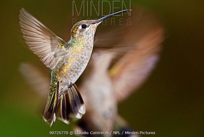 Magnificent hummingbird (Eugenes fulgens), juvenile, flying, Milpa Alta forest, Mexico, May