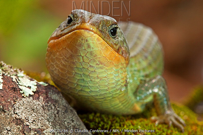 Imbricate alligator lizard (Barisia imbricata), Milpa Alta forest, Mexico, July