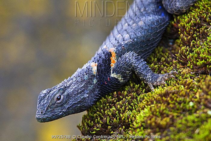 Torquate Lizard (Sceloporus torquatus), Milpa Alta forest, Mexico, August