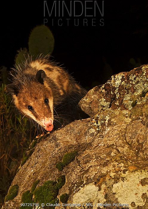 Virginia opossum (Didelphis virginiana), Milpa Alta forest, Mexico, June