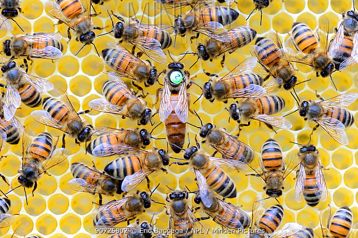 European honeybees (Apis mellifera) with marked queen among workers on honeycomb. Lorraine, France. May.