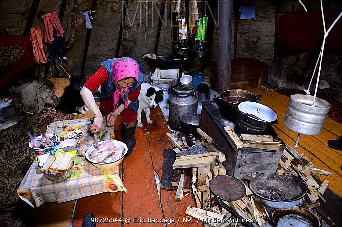 Nenet woman preparing muksun fillet inside tent. Yar-Sale district. Yamal, Northwest Siberia, Russia. April 2016.