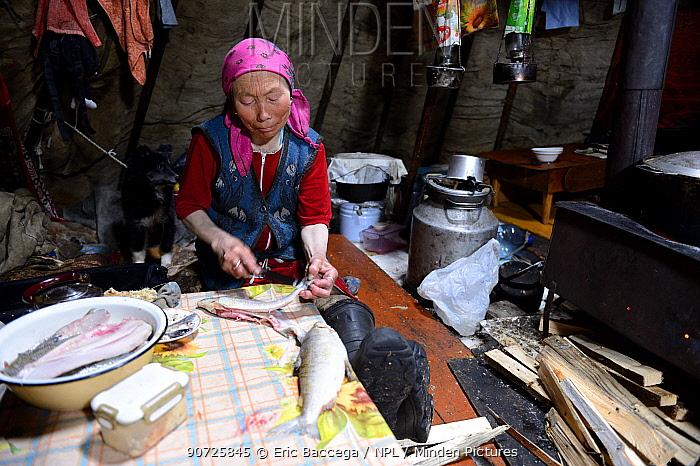 Nenet woman preparing fillets of muksun fish inside tent. Yar-Sale district. Yamal, Northwest Siberia, Russia. April 2016.