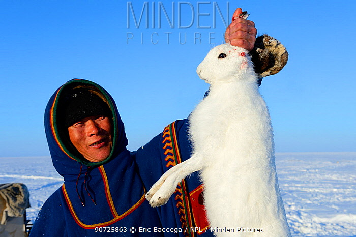 Nenet herder holding arctic hare (Lepus timidus) caught in the tundra. Yar-Sale district. Yamal, Northwest Siberia, Russia. April  2016.