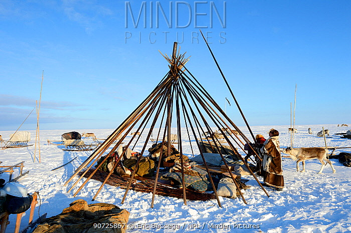 Nenet herders building tent in tundra. Yar-Sale district, Yamal, Northwest Siberia, Russia. April 2016.
