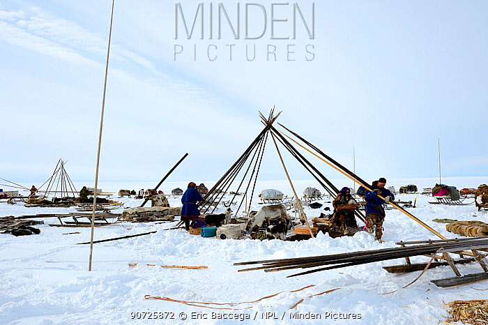 Nenet herders dismantling tent in tundra. Yar-Sale district. Yamal, Northwest Siberia, Russia. April  2016.