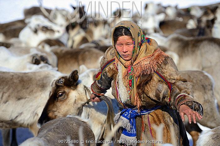 Nenet herder, Ekaterina Yaptik selecting draught Reindeer (Rangifer tarandus) from corral. Yar-Sale district, Yamal, Northwest Siberia, Russia. April 2016.