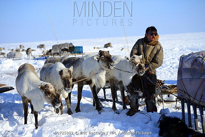Nenet herder harnessing reindeers (Rangifer tarandus) to sledge for spring migration. Yar-Sale district, Yamal, Northwest Siberia, Russia. April 2016.